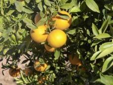 sinasappels in overvloed