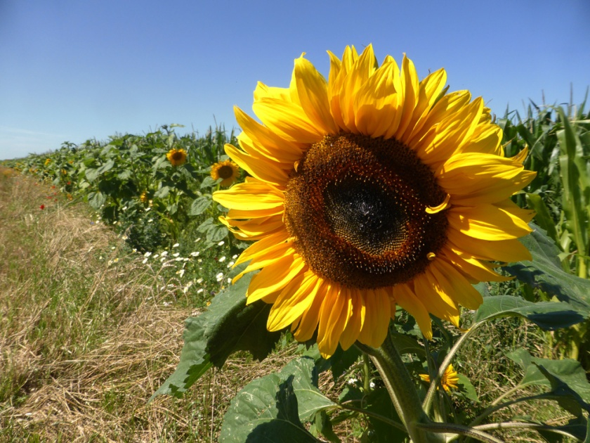 zonnenbloem met klaproos
