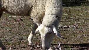 6 schaap
