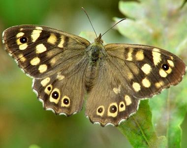 donkere vlinder